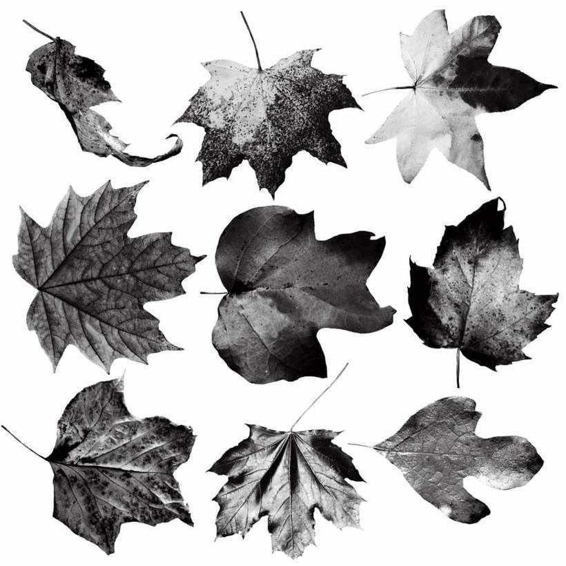 8,真实的枯黄叶子,枫叶,梧桐叶photoshop树叶笔刷素材