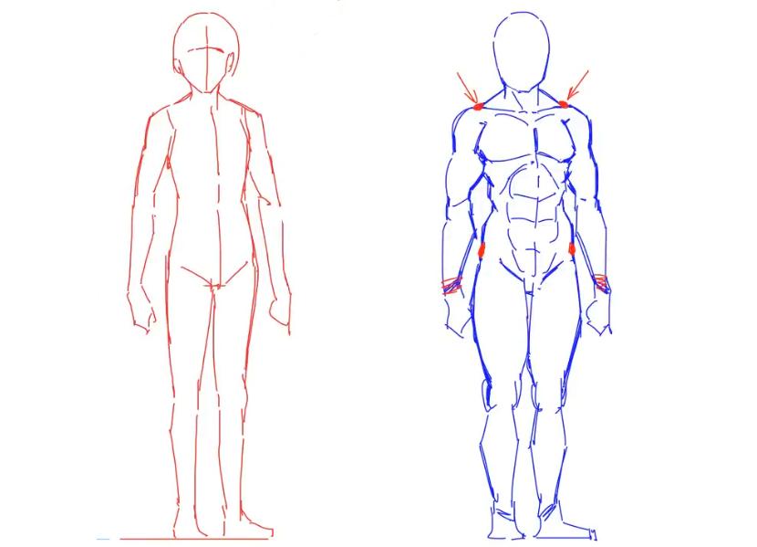 【人体入门】动漫人物人体肌肉线条画法分析