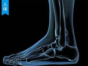 【人体结构】人体脚部结构详解