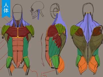 【人体结构】人体脖子的骨骼结构及肌肉分布教程