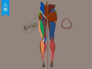 【人体入门】腿部的骨骼结构及肌肉分布教程